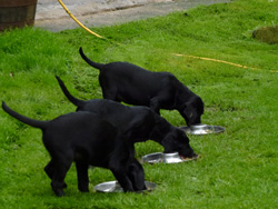 Westmacott Labrador Puppies for Sale